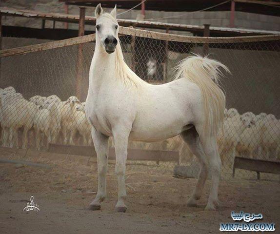صورة خيول عربية , صور خلفيات خيل عربى اصيل