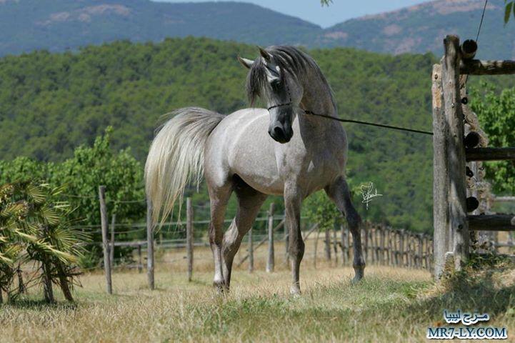 بالصور خيول عربية , صور خلفيات خيل عربى اصيل 6353 10