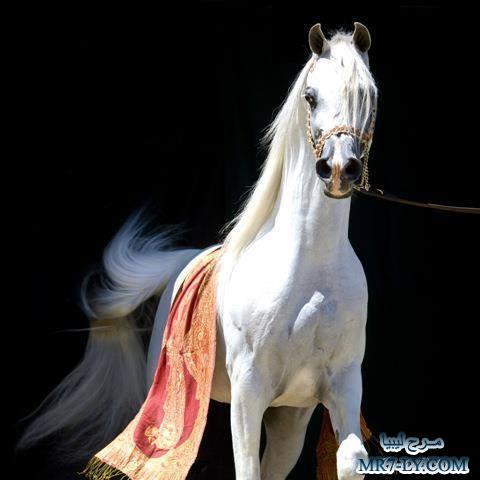 بالصور خيول عربية , صور خلفيات خيل عربى اصيل 6353 3