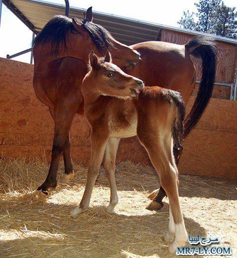 بالصور خيول عربية , صور خلفيات خيل عربى اصيل 6353 5