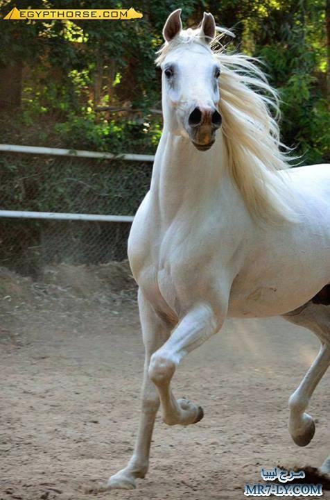 بالصور خيول عربية , صور خلفيات خيل عربى اصيل 6353 6
