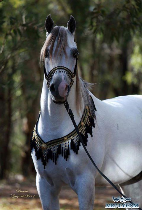 صوره خيول عربية , صور خلفيات خيل عربى اصيل