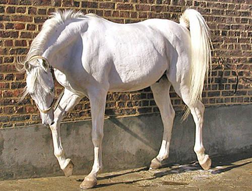 صور خيول عربية اصيلة , صور خيول عربيه روعه