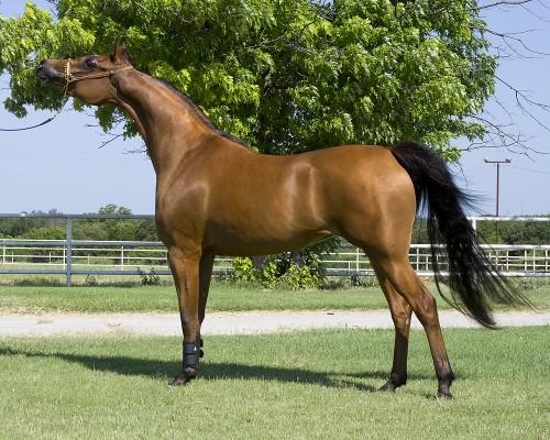 بالصور خيول عربية اصيلة , صور خيول عربيه روعه 6510 2