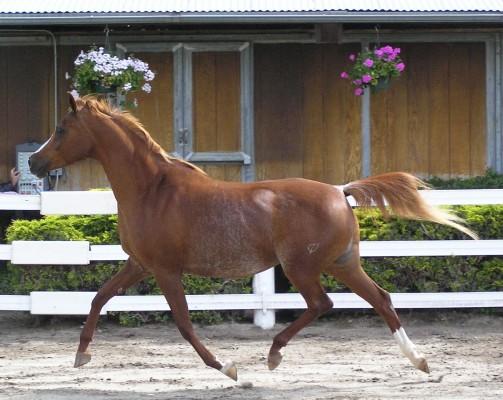 بالصور خيول عربية اصيلة , صور خيول عربيه روعه 6510 4