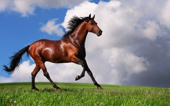 بالصور خيول عربية اصيلة , صور خيول عربيه روعه 6510 5