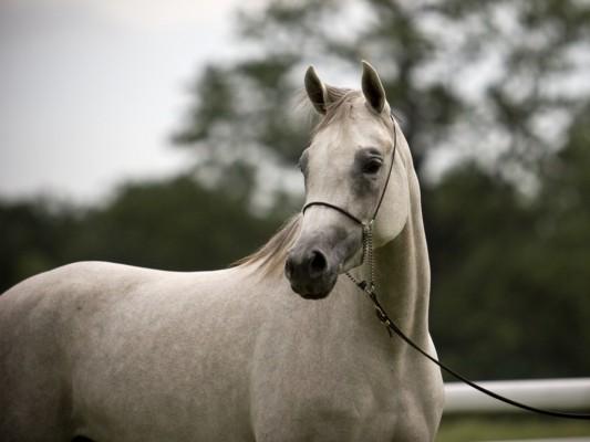 بالصور خيول عربية اصيلة , صور خيول عربيه روعه 6510 6