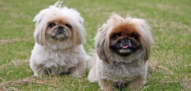 صور انواع الكلاب , تصنيف اخطر واشرس انواع للكلاب