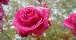 صوره صور ورود حلوه , صور زهور جميلة