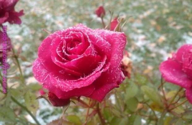 صورة صور ورود حلوه , صور زهور جميلة