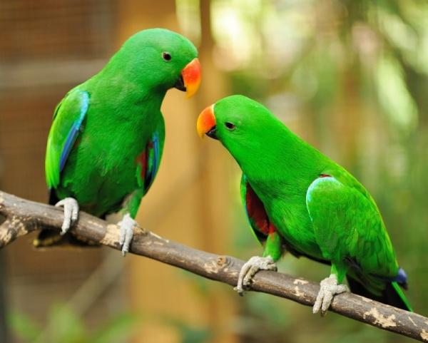 بالصور عصافير الزينة , طيور الزينة 5003 1