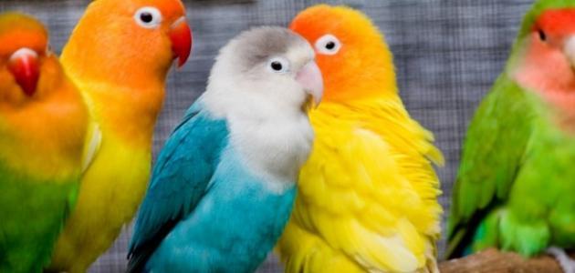 بالصور عصافير الزينة , طيور الزينة 5003 2