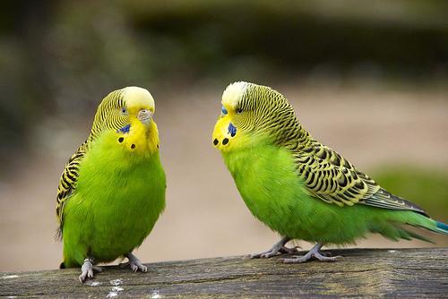 بالصور عصافير الزينة , طيور الزينة 5003 3