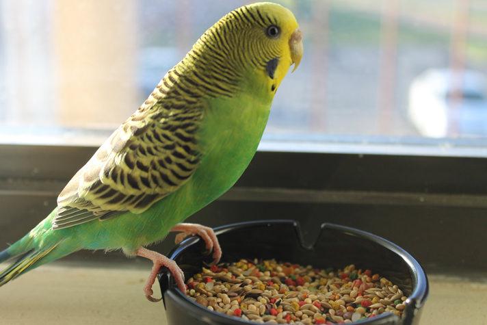 بالصور عصافير الزينة , طيور الزينة 5003 4