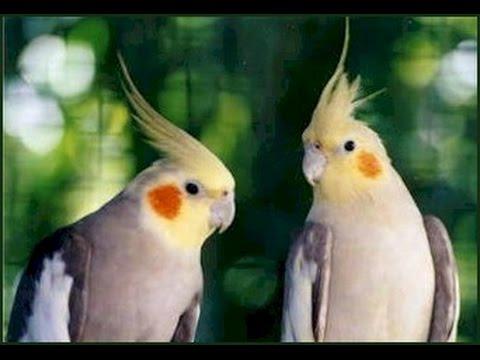 بالصور عصافير الزينة , طيور الزينة 5003 5
