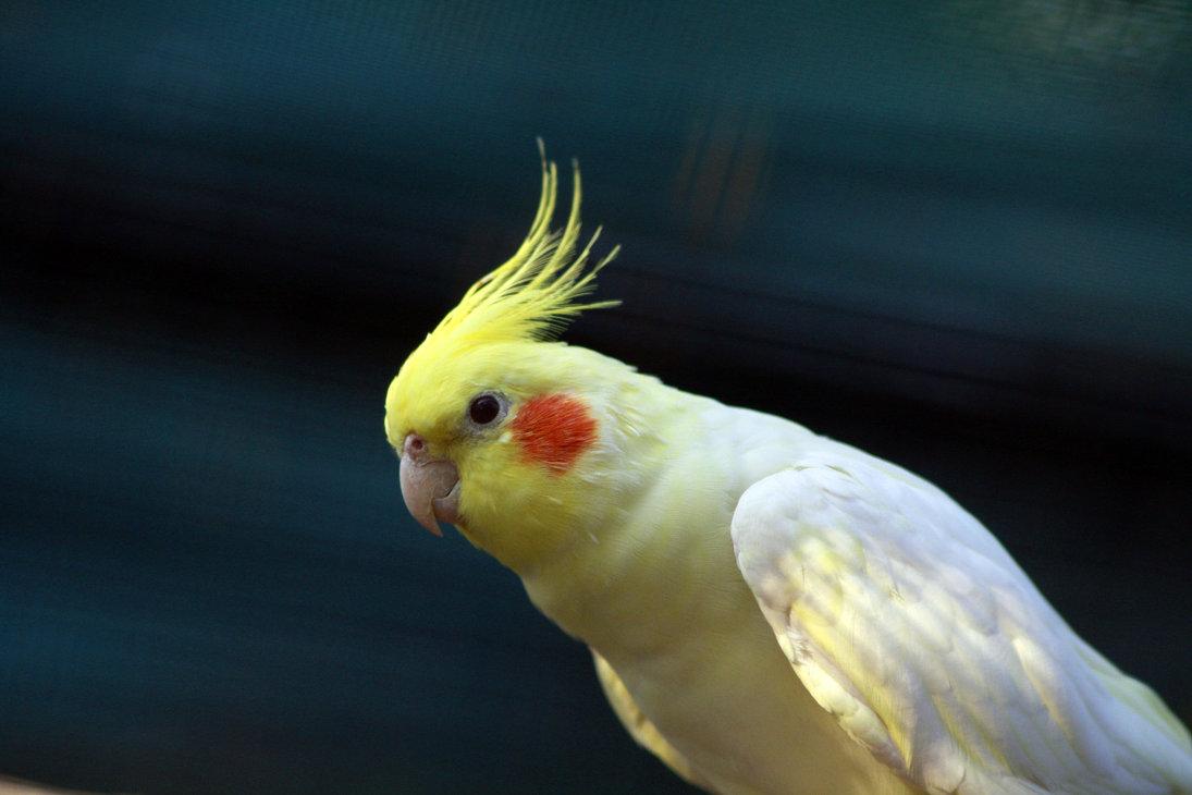 بالصور عصافير الزينة , طيور الزينة 5003 6