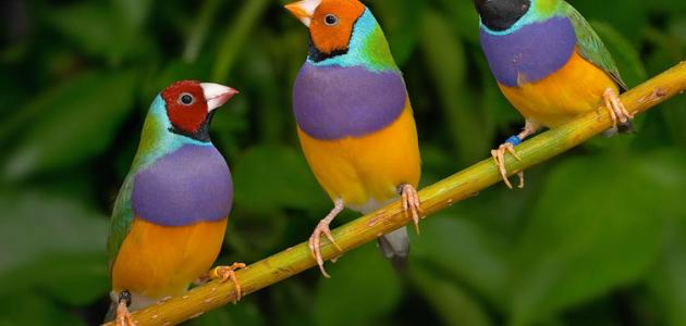 بالصور عصافير الزينة , طيور الزينة 5003 7