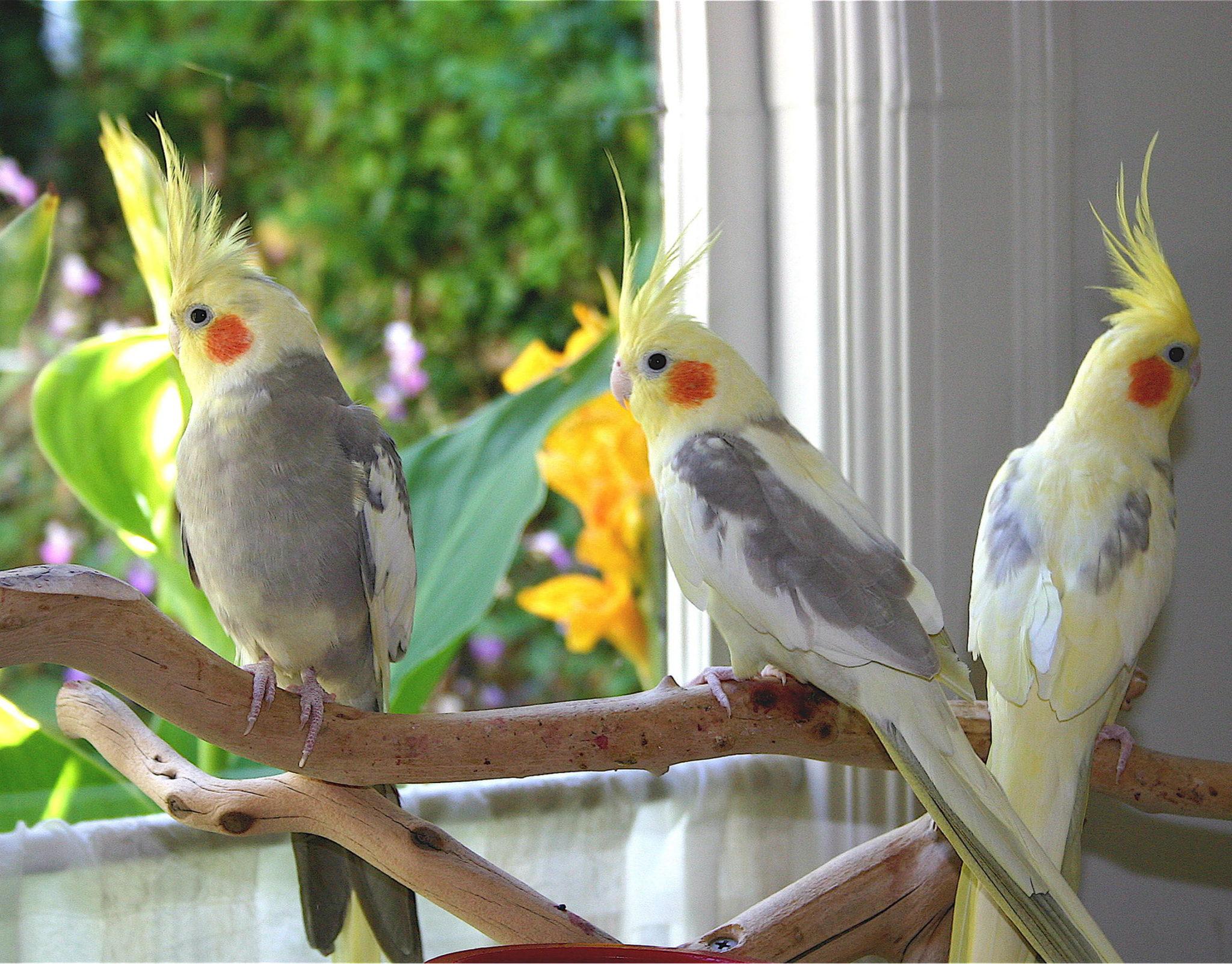 بالصور عصافير الزينة , طيور الزينة 5003 8