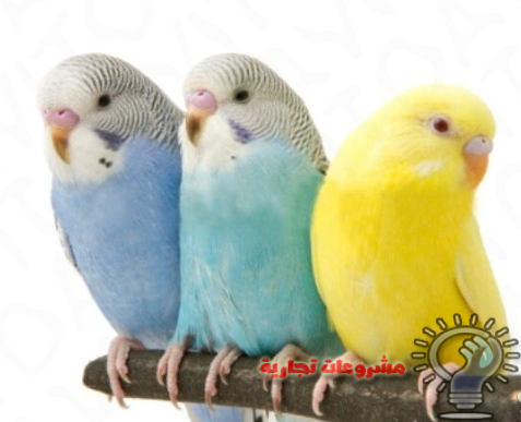 صور عصافير الزينة , طيور الزينة