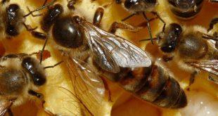 بالصور فوائد غذاء ملكات النحل , اهم ما قيل عن غذاء ملكات النحل 5168 2 310x165