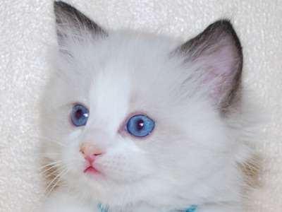 بالصور قطط جميلة , اجمل القطط 5859 11