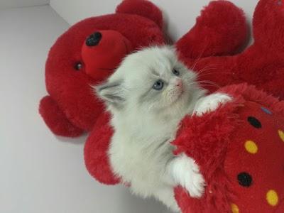 بالصور قطط جميلة , اجمل القطط 5859 8