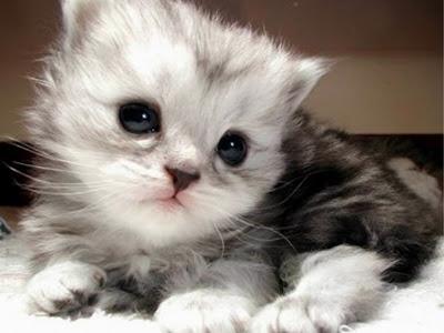 بالصور قطط جميلة , اجمل القطط 5859