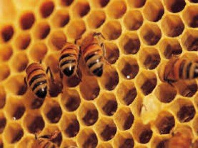 بالصور تربية النحل , فيديو يوضح كيفية تربية النحل 6002