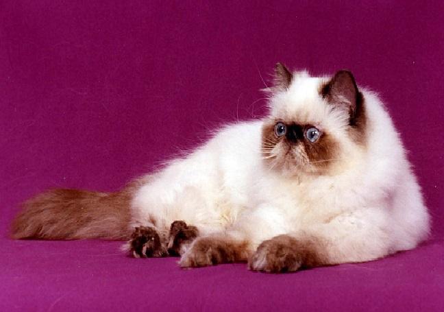 صور قطط هملايا , صور لقطط الهملايا جميلة جدا