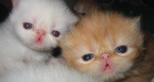 صوره قطط هملايا , صور لقطط الهملايا جميلة جدا