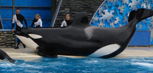 صور اكبر حوت في العالم , معلومات عن اضخم الحيتان الموجودة
