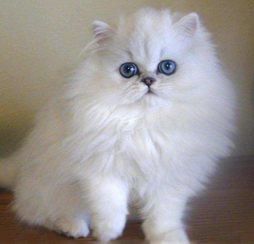 صوره قطط شيرازى , اجمل انواع قطط للتربيه فى المنزل