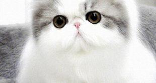 بالصور قطط شيرازى , اجمل انواع قطط للتربيه فى المنزل 1145 12 310x165