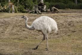 اكبر طائر في العالم , اكبر و اقوي طائر