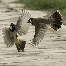 بالصور صور بلابل , صور لطير البلبل 1375 10