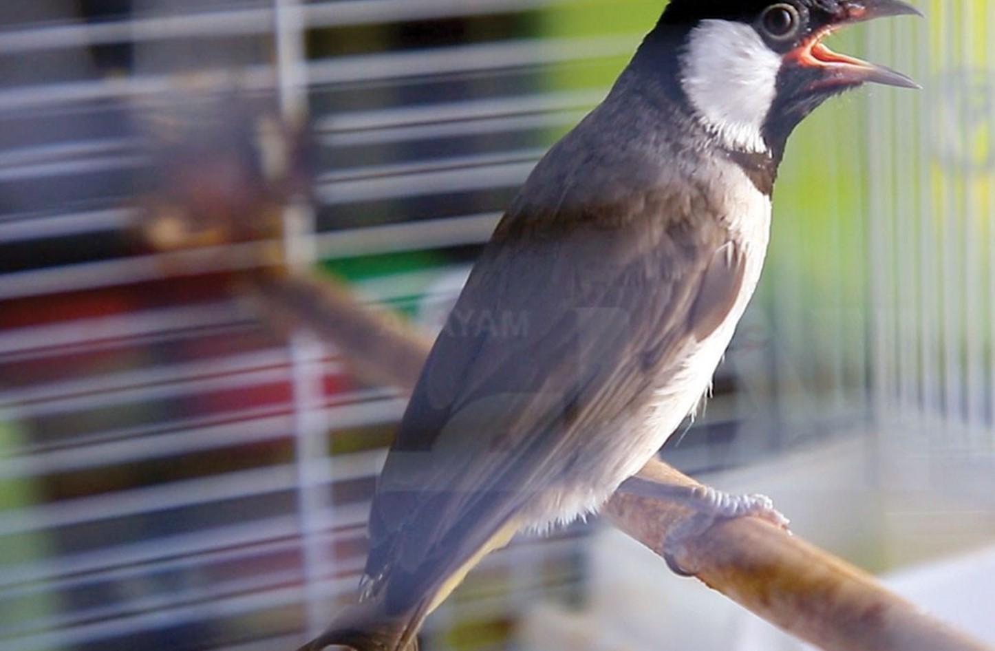 بالصور صور بلابل , صور لطير البلبل 1375 4
