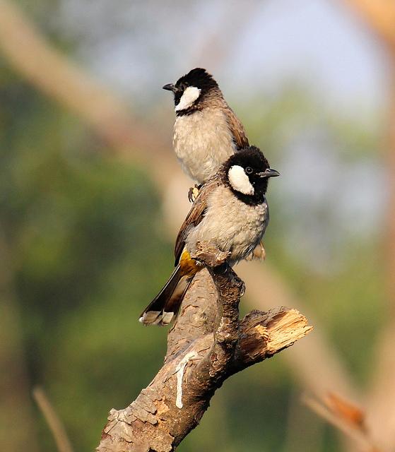 بالصور صور بلابل , صور لطير البلبل 1375 5