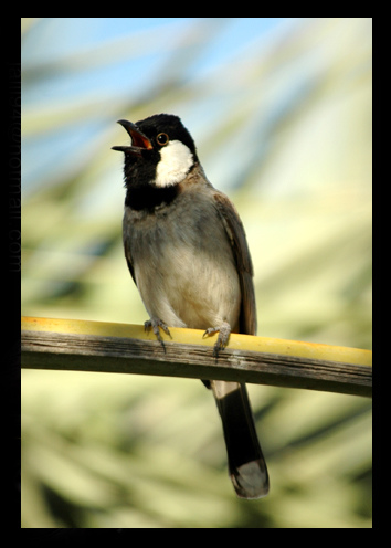 بالصور صور بلابل , صور لطير البلبل 1375 7