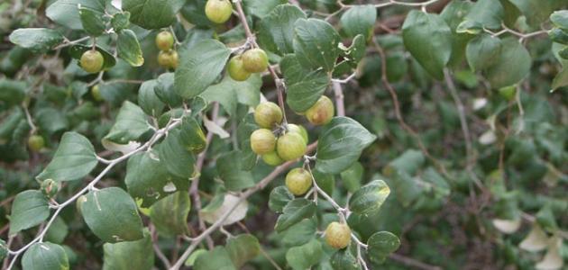 بالصور ما هو السدر , فائدة نبات السدر 1453 2
