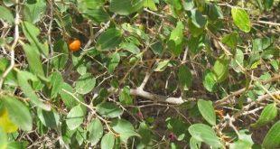 بالصور ما هو السدر , فائدة نبات السدر 1453 3 310x165