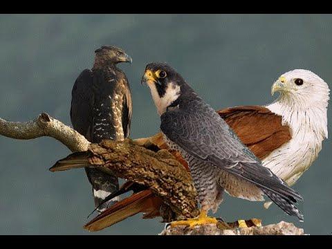 بالصور انواع الصقور , الصقور من الطيور الجارحه . 1809 1