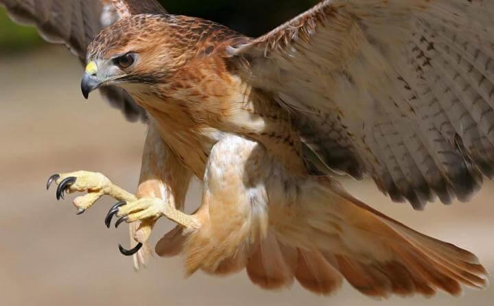 بالصور انواع الصقور , الصقور من الطيور الجارحه . 1809 2