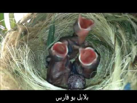 بالصور بلابل عراقية , اجمل بلابل عراقيه 2363 7