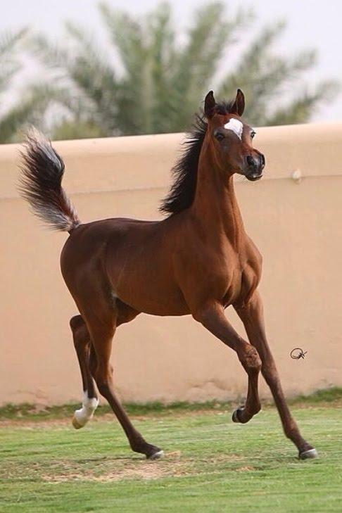 صورة خيل اصيل , اجمل الخيول الاصيله 2457 1