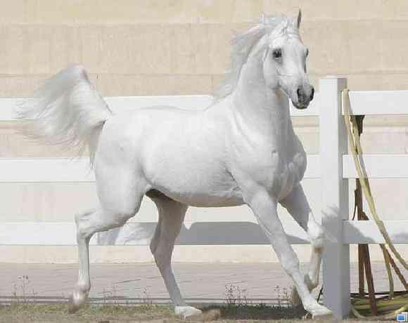 صورة خيل اصيل , اجمل الخيول الاصيله 2457 10