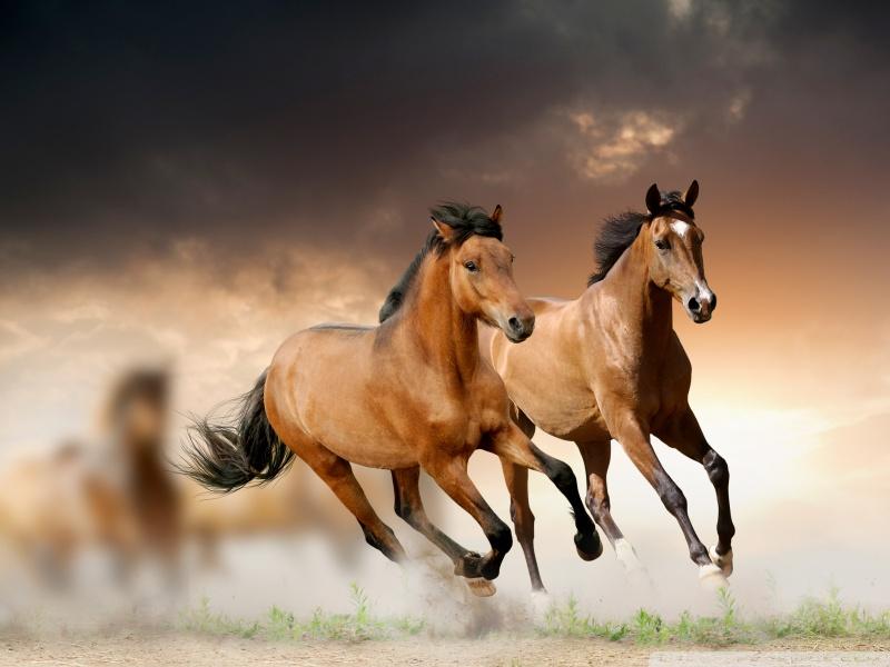 صورة خيل اصيل , اجمل الخيول الاصيله 2457 4