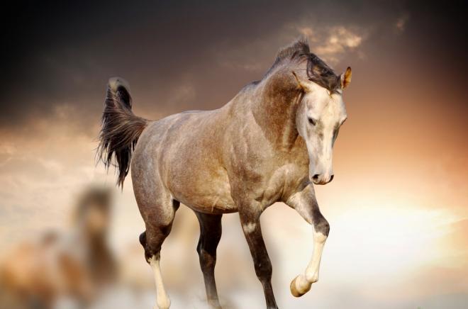 صورة خيل اصيل , اجمل الخيول الاصيله 2457 5