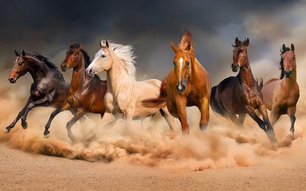 صورة خيل اصيل , اجمل الخيول الاصيله 2457 6
