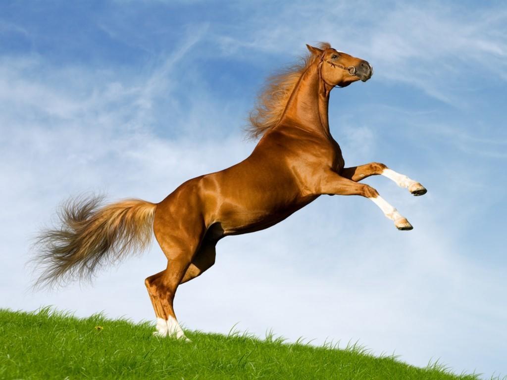 صورة خيل اصيل , اجمل الخيول الاصيله 2457 8