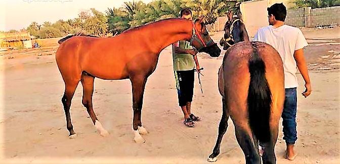 صورة خيل اصيل , اجمل الخيول الاصيله 2457 9
